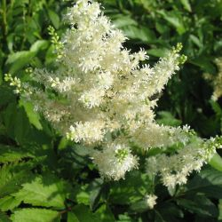 Astilbe X arendsii - сортове - сорт Astary White -  бяло астилбе (Астилбе, лъжеспирея), Saxifragaceae