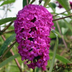 Buddleia davidii_Будлея_Royal Red_Loganiaceae