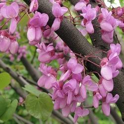 цъфтящо дърво Листопадни и цъфтящи дървета и храсти цъфтящо дърво