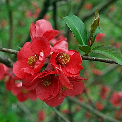 Chaenomeles japonica, Cydonia japonica_Японска дюля__Rosaceae