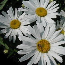 Chrysanthemum sp. (Leucanthemum, Tanacetum, Pyrethrum) - видове и сортове - сорт Chrysanthemum x superbum White Knight (Маргарита), Asteraceae (Compositae)
