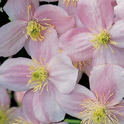 Clematis  - сорт Clematis montana 'Rubens' (Клематис), Ranunculaceae