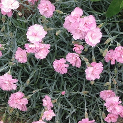 Dianthus plumarius_Бордюрен карамфил_Pike's Pink_Cariophylaceae