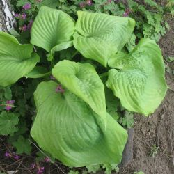 Hosta, Funkia - сорт Sum and Substance (Хоста), Liliaceae