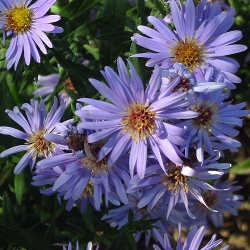 Aster dumosus - сорт Wood's Blue (Звездел, Астра храстовидна), Compositae, Asteraceae