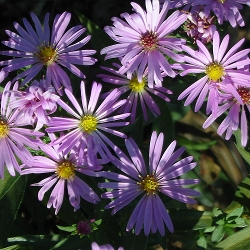 Aster dumosus - сорт Wood's Pink (Звездел, Астра храстовидна), Compositae, Asteraceae