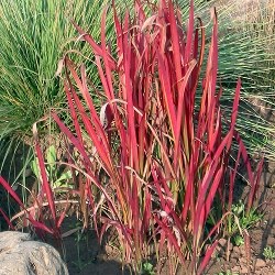 Imperata cylindrica_Императа_Red Baron_Poaceae