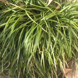 Ophiopogon sp. - сортове (Офиопогон) - сем. Asparagaceae