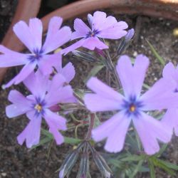 Phlox subulata - сорт Phlox subulata 'PURPLE BEAUTY' (Флокс стелещ), Polemoniaceae