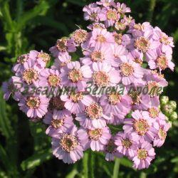 Achillea sibirica ssp. camtschatica _Равнец сибирски_'Love Parade' _Asteraceae (Compositae)