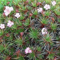 Acantholimon glumaceum_Акантолимон__Plumbaginaceae