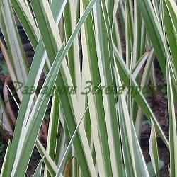 Acorus calamus - сорт Variegata (Блатен аир, Акорус), Araceae