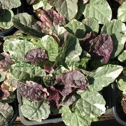 Ajuga reptans - сорт Burgundy Glow (Пълзящо срещниче, Аюга), Labiatae , Lamiaceae