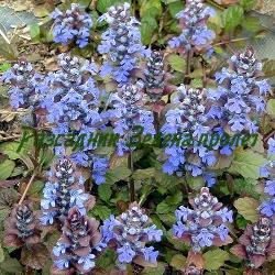 Ajuga reptans  - сорт Atropurpurea (Пълзящо срещниче, Аюга), Labiatae , Lamiaceae