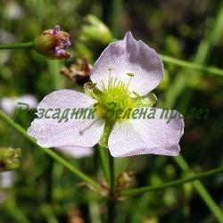 Alisma plantago-aquatica_Ализма, Лаваница, Жаблек__Alismataceae