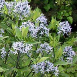 Amsonia sp. - сорт Amsonia orientalis - Източна амсония (Амсония), Apocynaceae