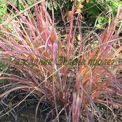 Andropogon gerardii (Dichantium gerardii)_Aндропогон, Белизма__Poaceae