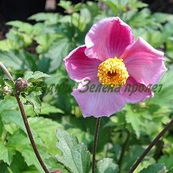 Anemone hupehensis_Eсенно анемоне__Ranunculaceae