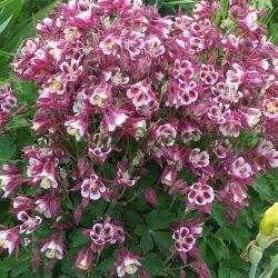 Aquilegia caerulea - hybrida (Кандилка, Аквилегия) - сем. Ranunculaceae