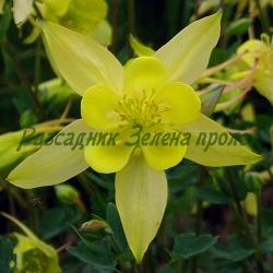 Aquilegia chrysantha_Кандилка жълта__Ranunculaceae