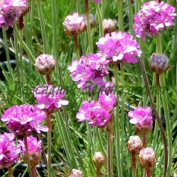 """Armeria maritima_Армерия, Лъжичниче_4 сорта : """"Splendens"""", """"Alba"""", """"Nifty Thrifty"""", """"Rubrifolia""""_Plumbaginaceae"""