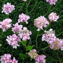 Armeria species_Армерия__Plumbaginaceae