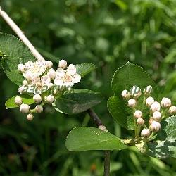 Aronia melanocarpa_Арония черноплодна__Rosaceae