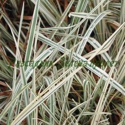 Arrhenatherum elatius bulbosum_Архенатерум, Френски райграс_ssp. Variegatum_Poaceae