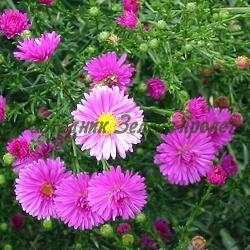 Aster Novae-Angliae_Есенна астра__Asteraceae
