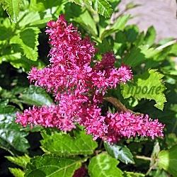 Astilbe X arendsii  - сорт Astary Red - червено астилбе (Астилбе, лъжеспирея), Saxifragaceae