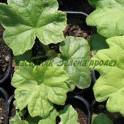 Astilboides tabularis_Астилбоидес, Роджерсия__Saxifragaceae
