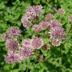 Astrantia major - сортове (Астранция, Зарниче) - сем. Apiaceae