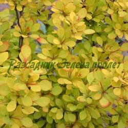 Berberis thunbergii  - сорт Golden Rocket (Японски кисел трън), Berberidaceae