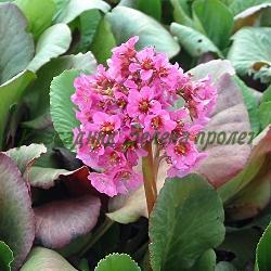 Bergenia cordifolia_Бергения_ROTBLUM-цикламена;   ANGEL KISS- бяла _Saxifragaceae