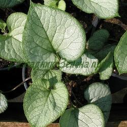 Brunnera macrophylla - сорт SЕА HEART (Брунера едролистна, Многогодишна незабравка, Кавказка незабравка), Saxifragaceae