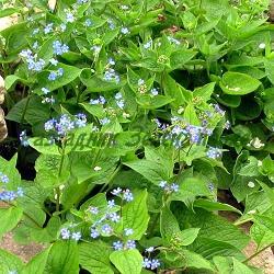 Brunnera macrophylla - сортове (Брунера едролистна, Многогодишна незабравка, Кавказка незабравка) - сем. Boraginaceae
