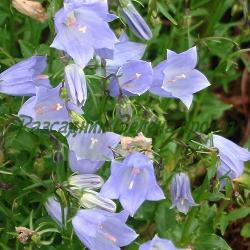 Campanula pussila, Campanula cochlearifolia, сортове (Камбанка лъжичколистна) - сем. Campanulaceae
