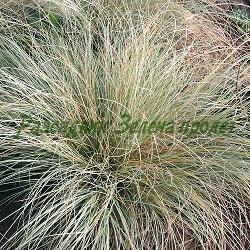 Carex comans Ftosted Curls_Карекс_Frosted Curls_Cyperaceae