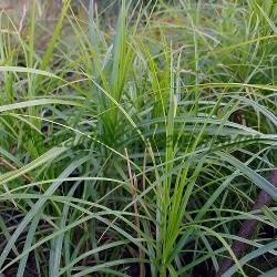Carex muskingumensis_Карекс палмолистен_ОСНОВЕН ВИД (зелен); сорт AUREA (жълтолистен)_Cyperaceae