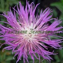 Centaurea bella_Метличина красива__Compositae, Asteraceae