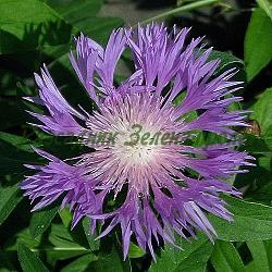 Centaurea dealbata_Персийска метличина, Кавказка метличина__Compositae, Asteraceae