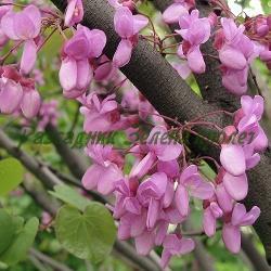 Cercis siliquastrum_Див рожков, Юдово дърво, Церцис__Caesalpiniceae