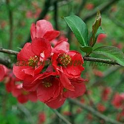 Chaenomeles japonica, Cydonia japonica_Японска дюля_ NIVALIS(бял), семенни фиданки_Rosaceae