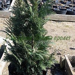 Chamaecyparis lawsoniana_Лавсонов лъжекипарис, лъжекипарис, хамеципарис__Cupressaceae