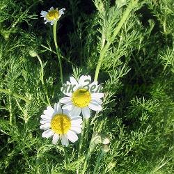 Chamaemelum nobile, Anthemis nobilis - сортове (Хамамелум, Римска лайка, Италианска лайка) - сем. Compositae