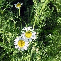 Chamaemelum nobile, Anthemis nobilis - сорт Основен вид (Хамамелум, Римска лайка, Италианска лайка), Compositae