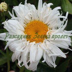 Chrysanthemum maximum, Leucanthemum maximum_Маргарита кичеста_Flore Pleno, Crazy Daisy_Compositae, Asteraceae