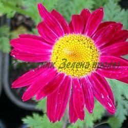 Chrysanthemum coccineum, Pyrethrum coccineum, Pyrethrum roseum - сортове (Червена маргарита, Червен пиретрум) - сем. Compositae, Asteraceae
