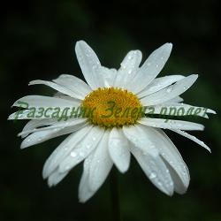 Chrysanthemum X superbum 'Silver Princess'_Маргарита ниска_Silver Princess_Compositae