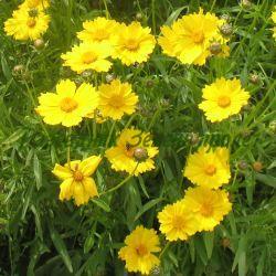 Coreopsis  lanceolata_Кореопсис, Жълтички_Domino_Compositae, Asteraceae